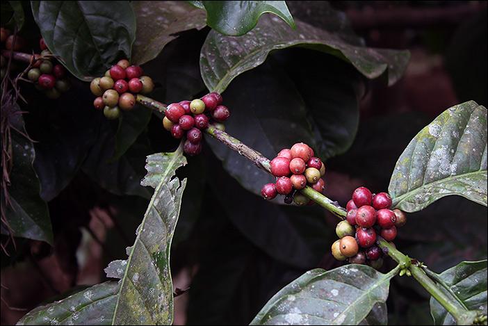 Kaffee-Früchte