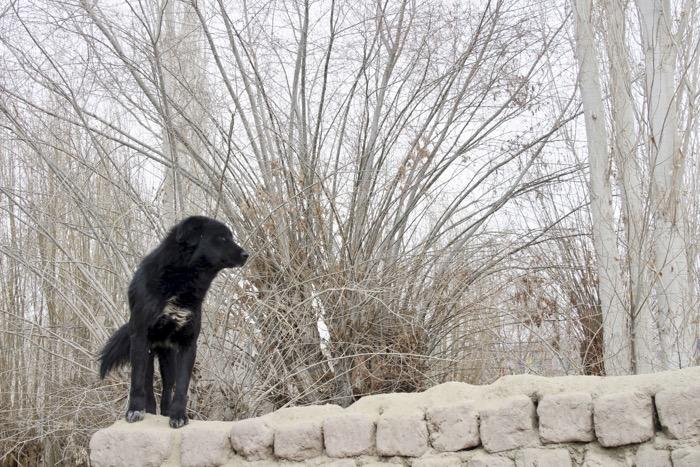 Winterladakh: Hund auf Mauer