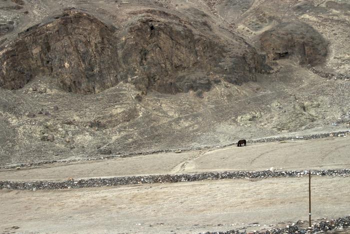 Winterladakh: Pferd auf Feld in Nyoma