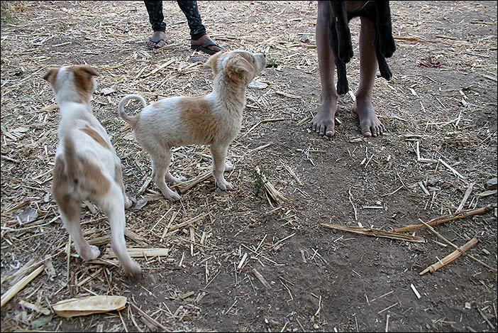 Hunde bei Dorfspaziergang