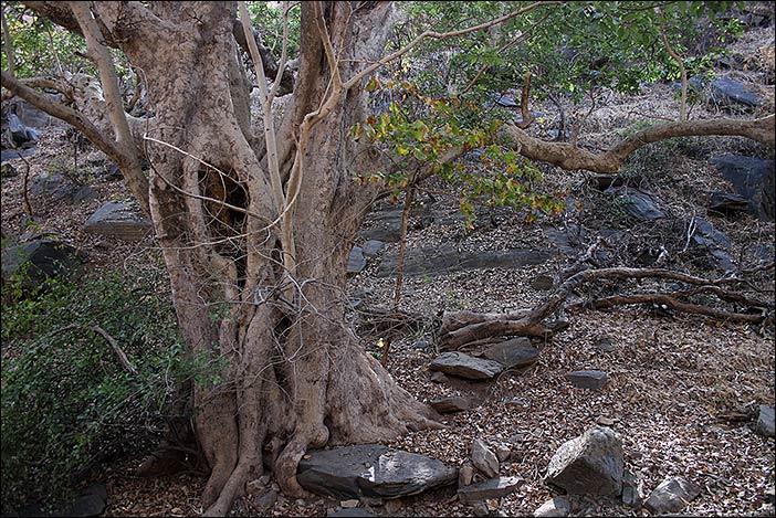 Baumstamm im Kumbalgarh Naturpark