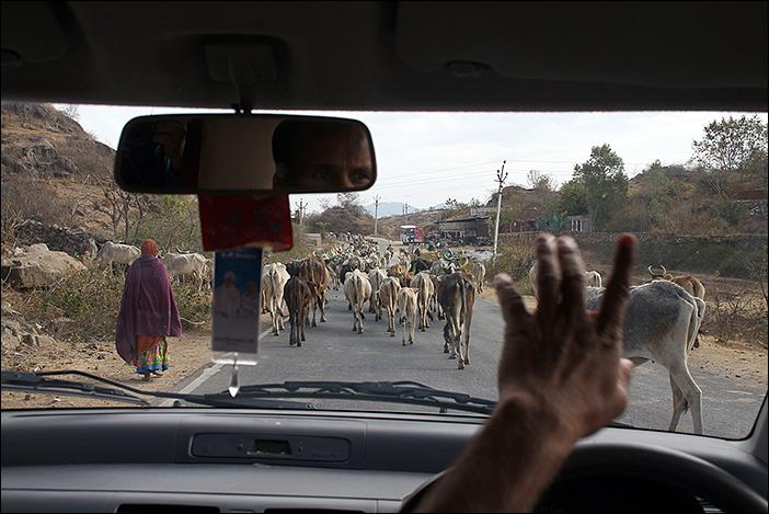Tierherde auf Straße