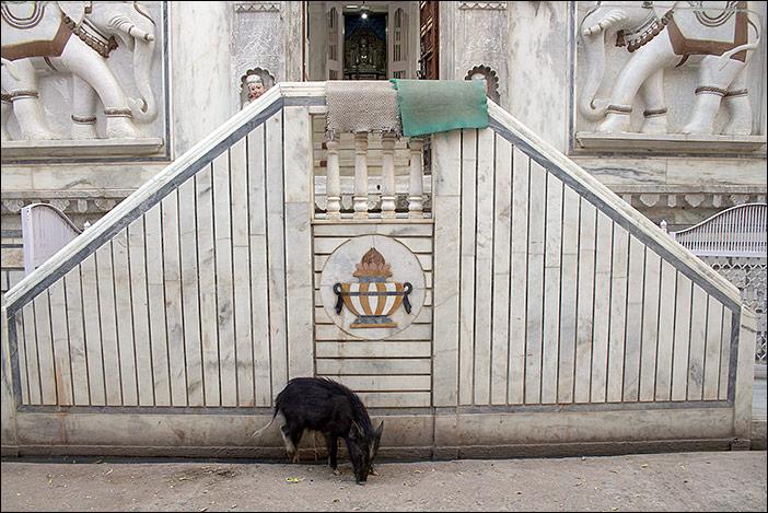 Schwein in Ghanerao