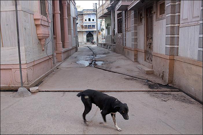 Hund in Ghanerao