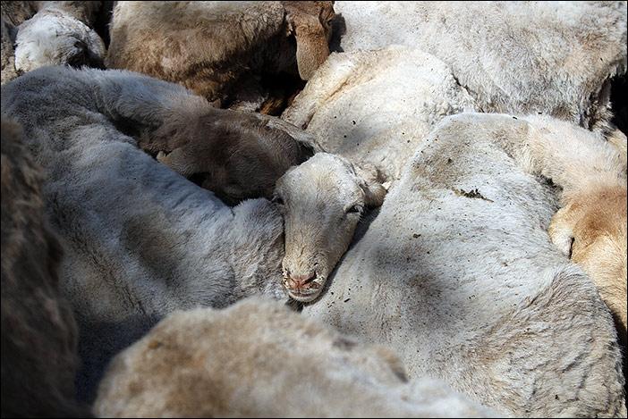 Schafe der Raika