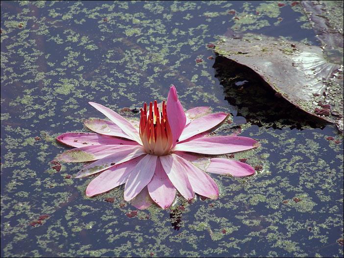 Lotus in Kapilavastu in Indien