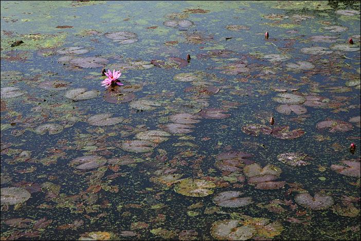 Lotus in Kapilavastu